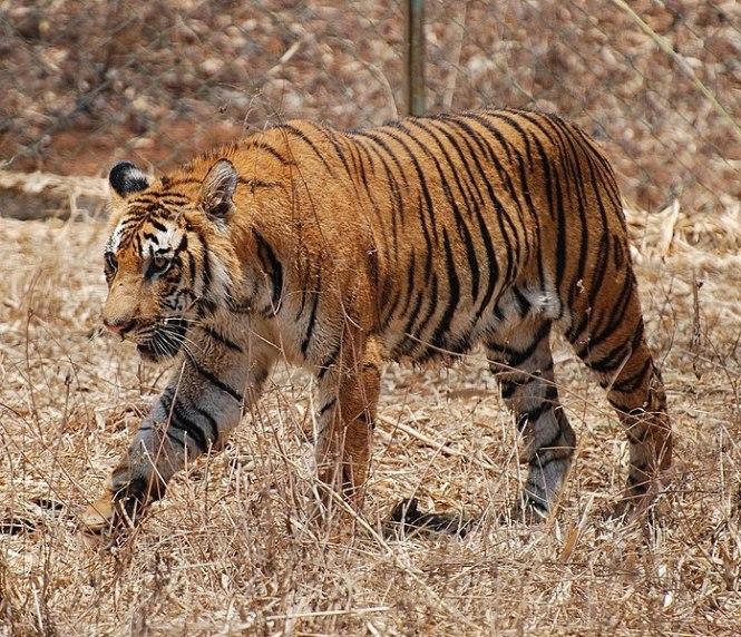 697px-Bengal_Tiger_Karnataka